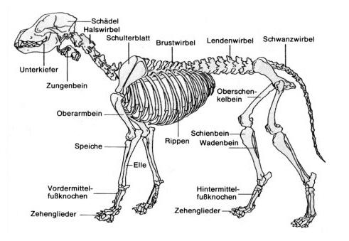 SVÖ Schwechat OG 103 - Anatomie